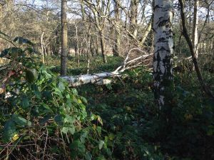 Felled tree in Nature Reserve