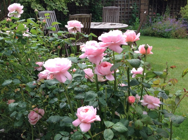rosebushfour