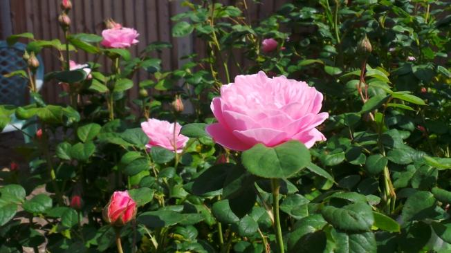 rosebushtwo