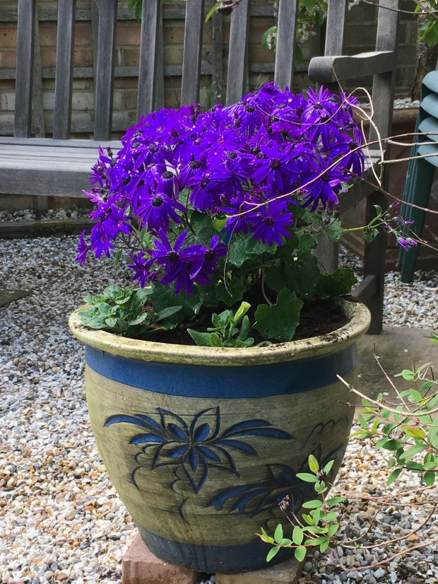 Senetti with Petunias