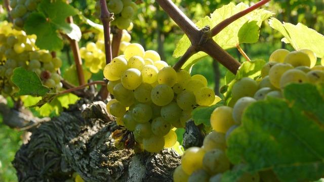 grapes-2104077_1280