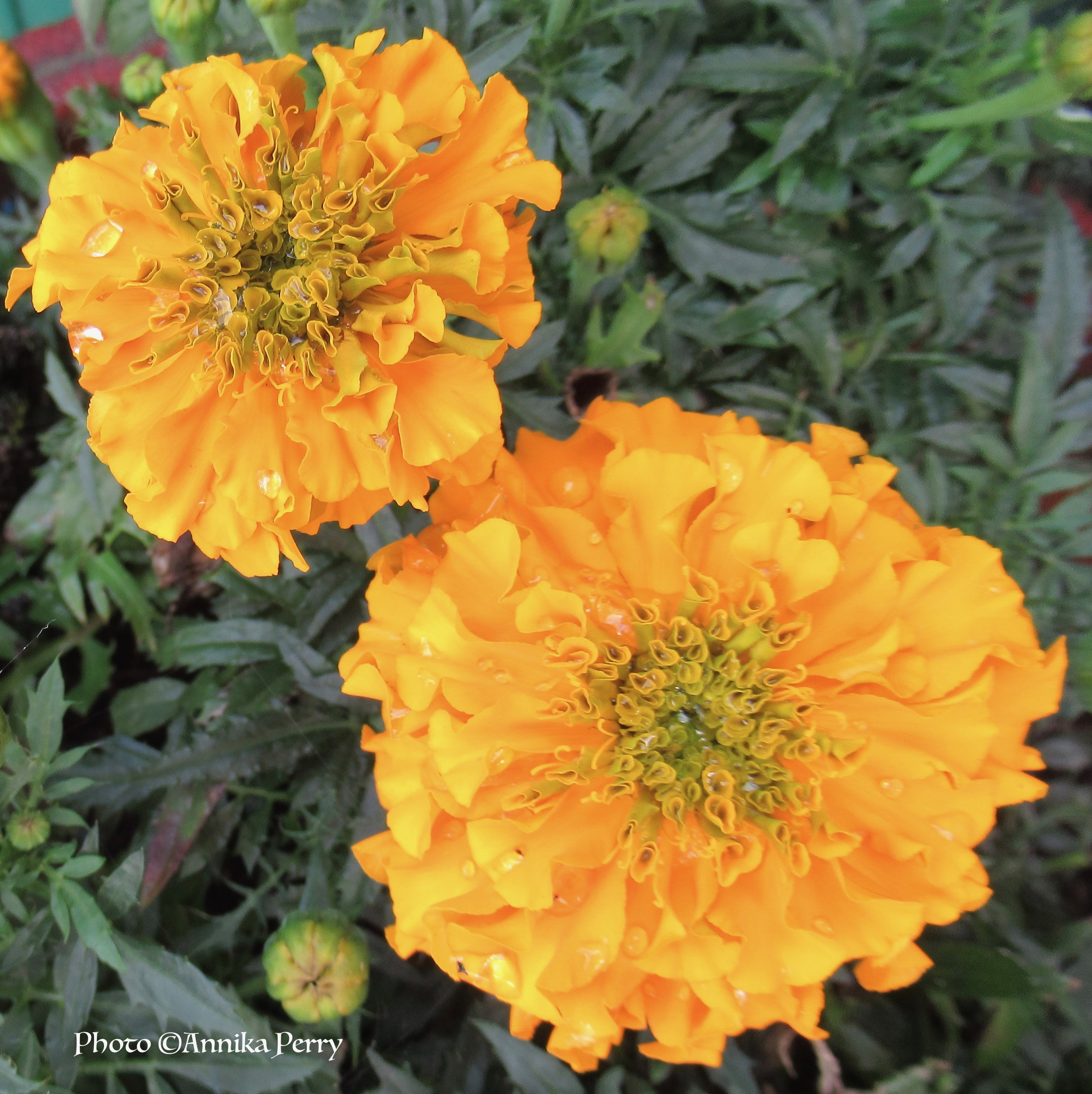 """""""Two marigolds close-up, golden yellow, folds of petals with crystals of dew drops."""""""