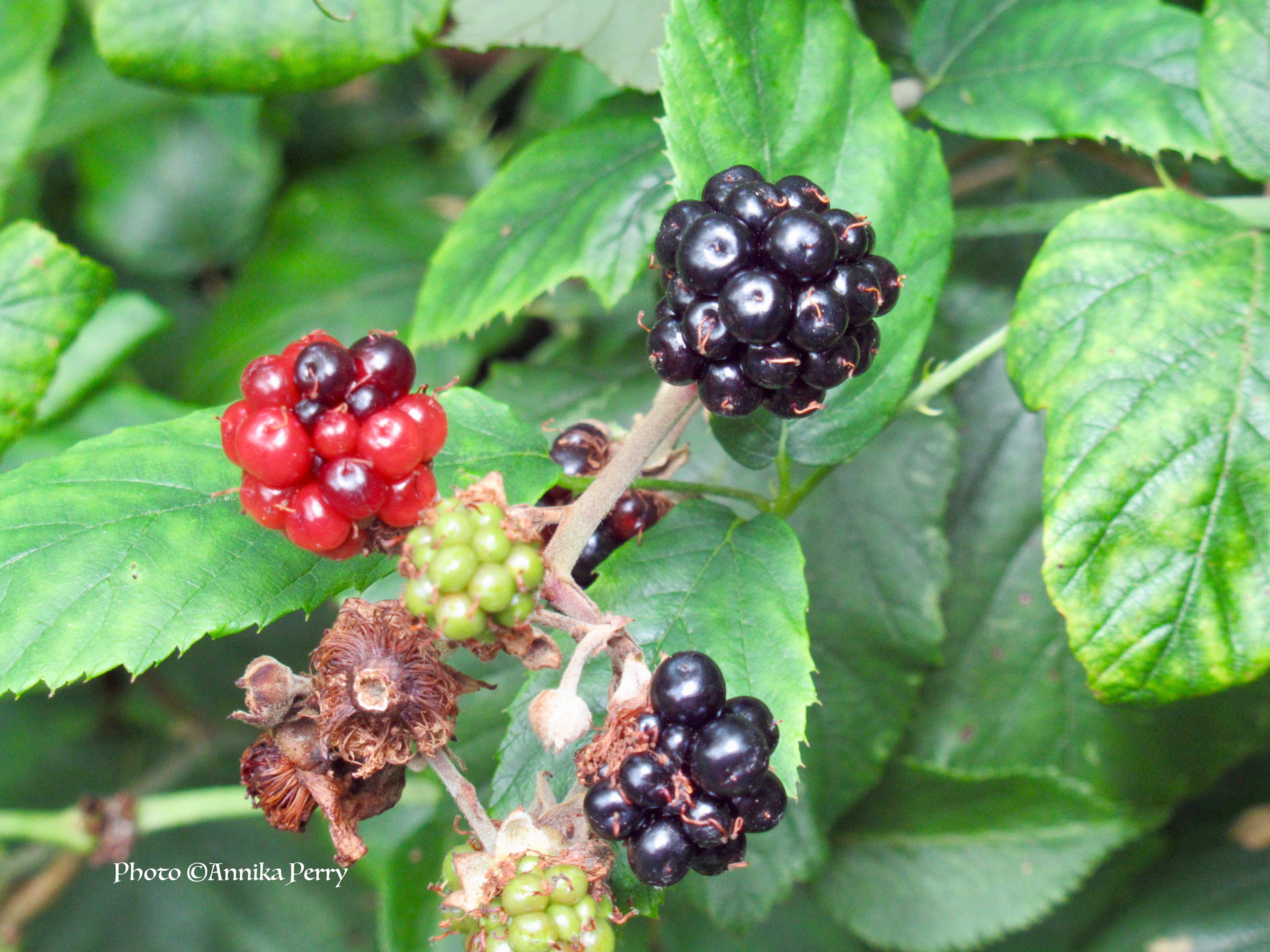"""""""Blackberries, unripe green, ripening red and ready to pick black ones."""""""