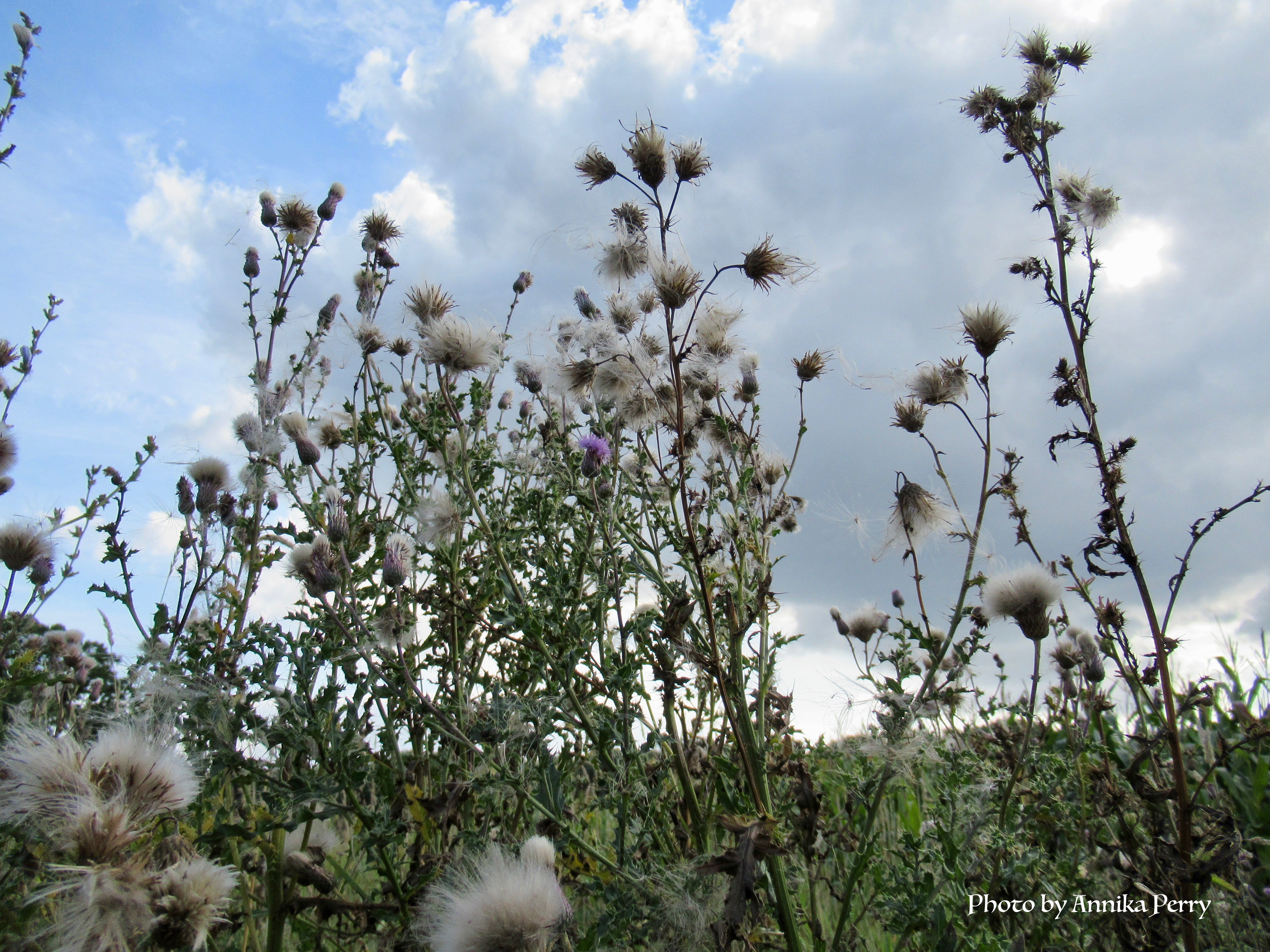 """""""Autumn thistles against cloudy dramatic sky, white tufts of flowering thistles. In the middle on purple still flowering thistle."""""""