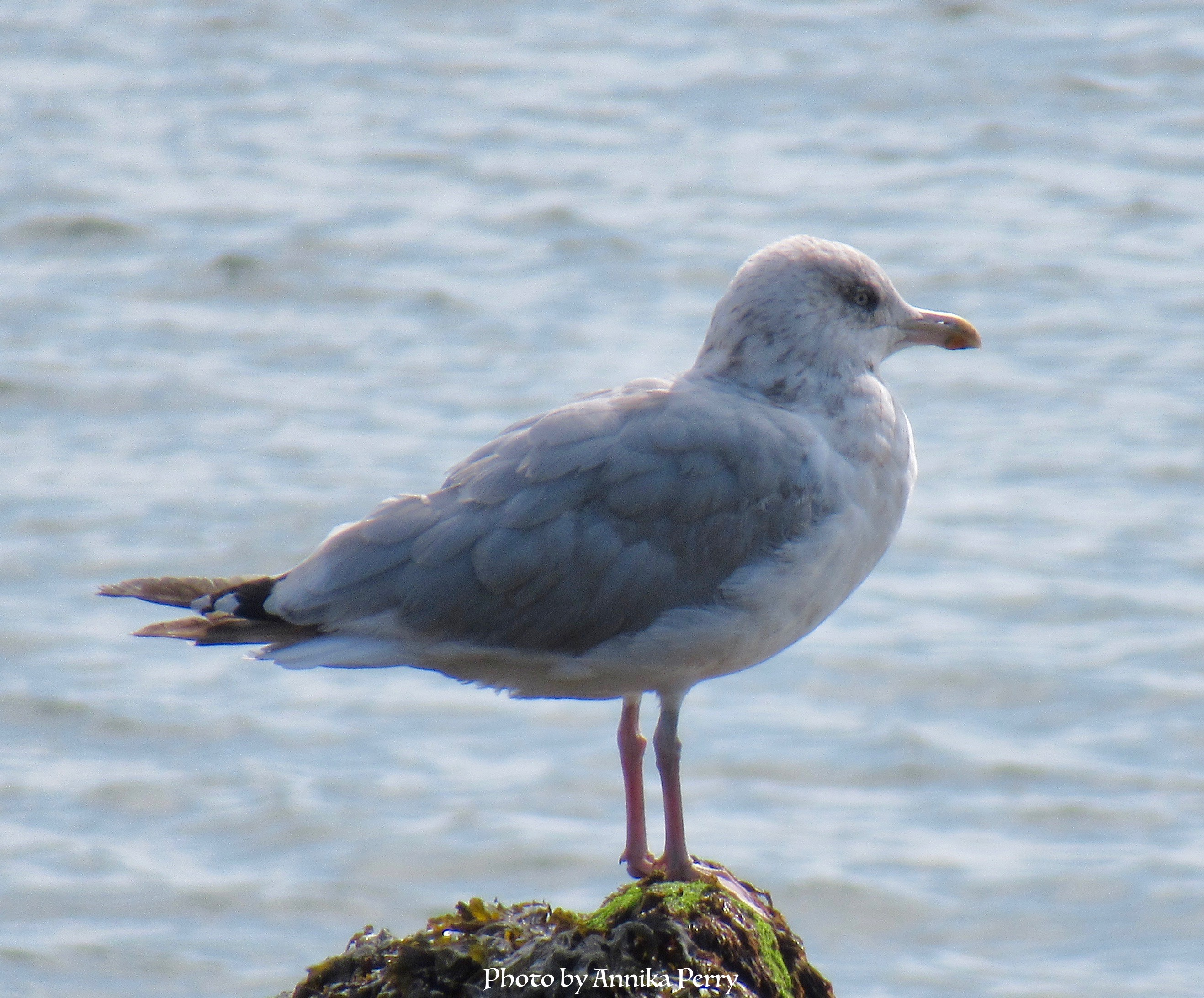 """""""Single gull, close-up, standing on outcrop with blue sea in the background."""""""